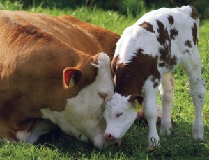 Shamelessly cute cow with calf. I am NOT apologetic if it helps you contact your MLA.