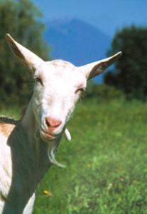 organic goat